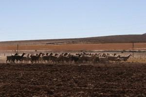 Llamas along the road, high on the Puna