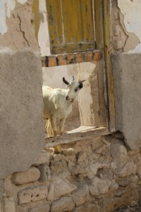 A goat is the only inhabitant of some of the shot-up buildings, Berbera