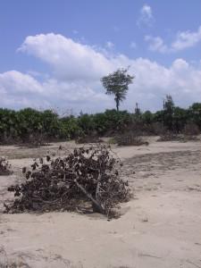 Manalamedu village, dead cashew trees