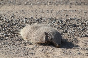 and there are more animals on the peninsula, here an armadillo