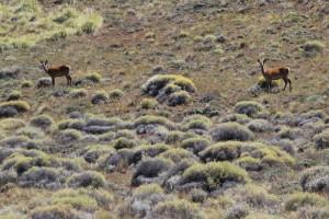 huemules, a kind of big-eared deer, just outside the park boundaries