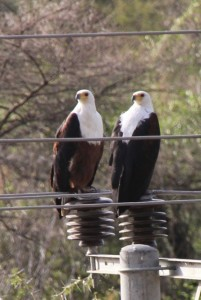 two fish eagles checking the electricity supply