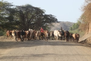 cows being transported over the road