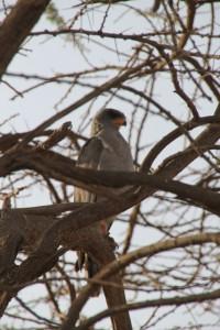 and bird of prey