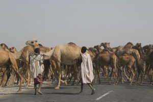 a camel herd crossing the main road