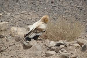 some vulture preparing himself
