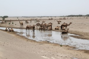 camels drinking from a salty pool in the Danakil Depression