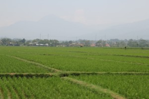 countryside: rice padis and houses