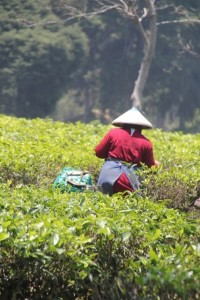 plantation worker on the Malabar Tea Estate