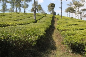 tea bushes (1)