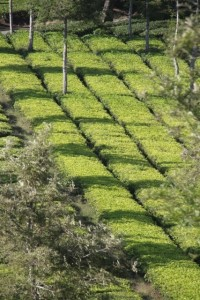 tea bushes (2)