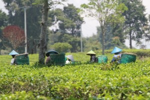 plantation workers in between the tea