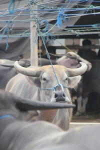 buffalo at the Bole market in Rantepao