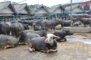 more buffalos, relaxed