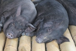 two pigs, equally for sale