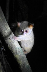 a tarsier, just as curious about us as we were about him (courtesy Sofia)