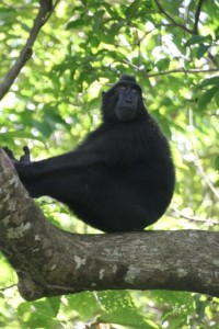 black crested macaque overseeing the world