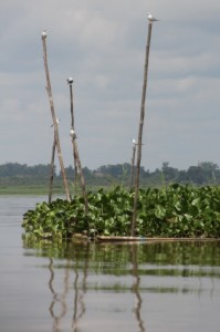 weeds and bamboo poles in the Lake Jempung