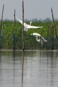 white herons fishing in the fishing nets