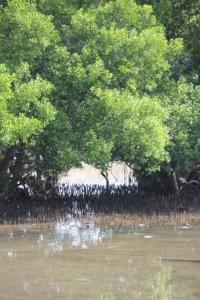 mangroves outside the harbour
