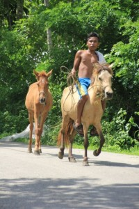 and in horses, a very un-Indonesian animal
