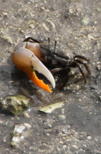 a genuine one-armed crab, they do still exist!