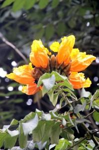 an orange-flowering tree in the Bogor gardens