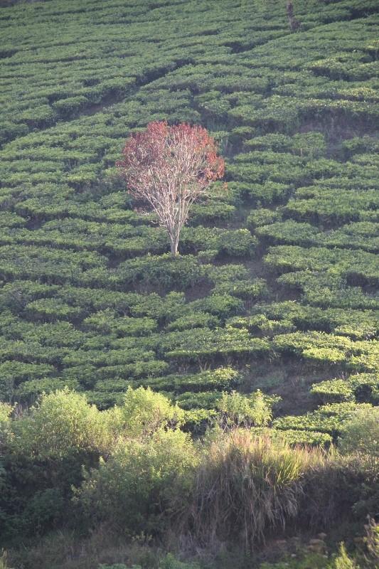 Malabar Tea Estate