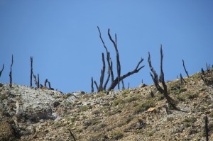 burnt tree stumps on the slope