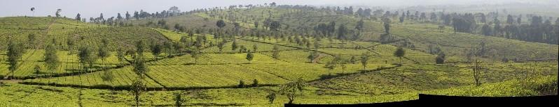 the Malabar Tea Estate
