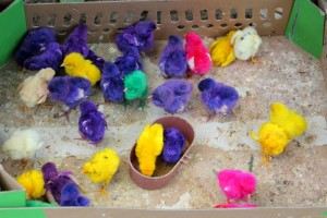 painted young chicken in the bird market