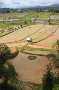 rice paddies near Tondok Bakaru