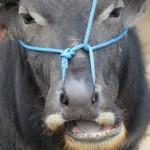 buffalo tied up in the Bolu market