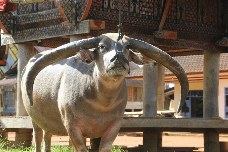 bull with huge horns, tied to a tongonan