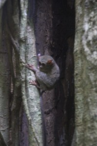 a tarsier, unfazed by the presence of people