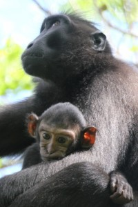 black macaque and baby in the Tangkoko National Park