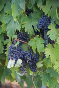 merlot only, at Mihail Rotenberg's estate