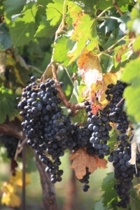 more grapes, ready to harvest