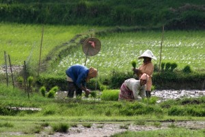 three women at work in the fields