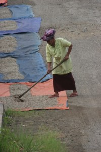 village woman raking the coffee