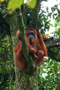 Orang Utan in the Bukit Lawang reserve