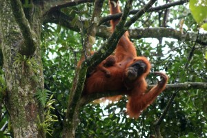 Orang Utan with young in the trees