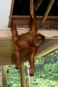 young Orang Utan, hanging from the roof