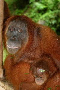 another Orang Utan, with young