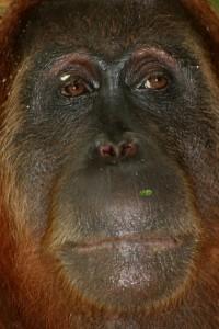 close up Orang Utan