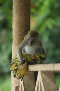 there are also other monkeys, attracted by the bananas