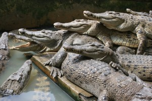 crocodiles stacked on top of each other
