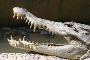 a large crocodile in the Medan crocodile farm