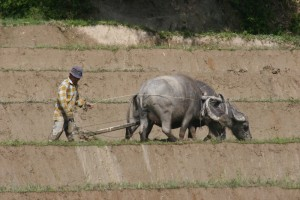 man ploughing his paddies with water buffalos