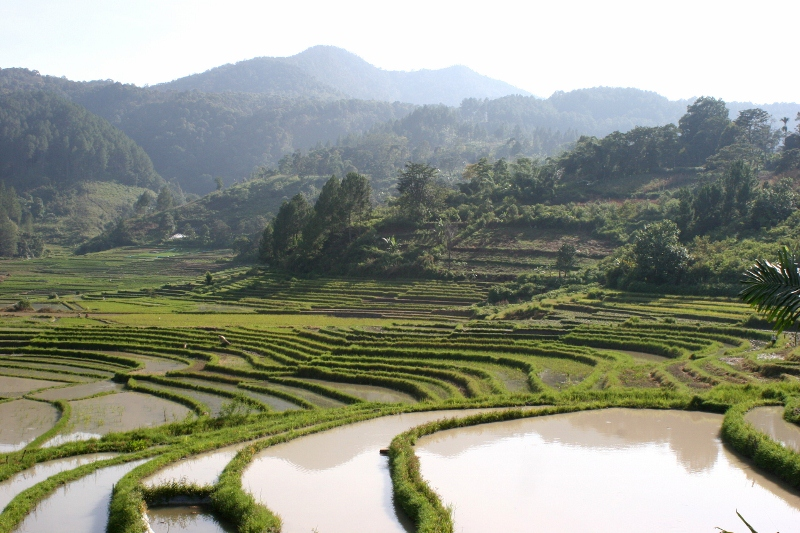 rice paddies in Sumatra